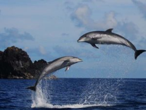 leaping dolphins in Azores