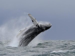humpback breaching in the Azores