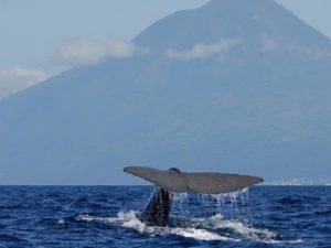 Sperm whale Pico island