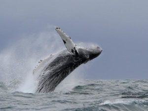 Humpback whale breaching Azores