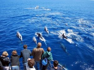 Giant pods of dolphins, Azores