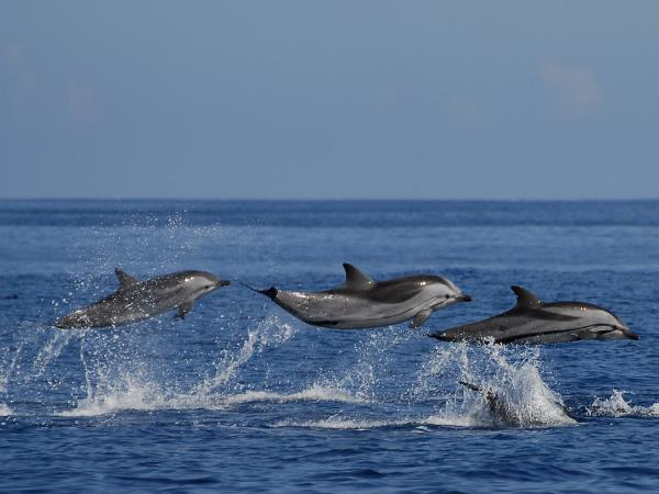 Wild dolphins in the Azores