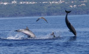 Leaping dolphins Azores