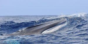 baleen whale feeding Azores