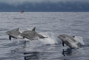 Dolphin pod Azores holidays