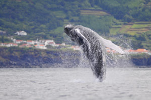breaching humpback Azores