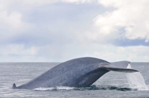 blue whale tail in Azores