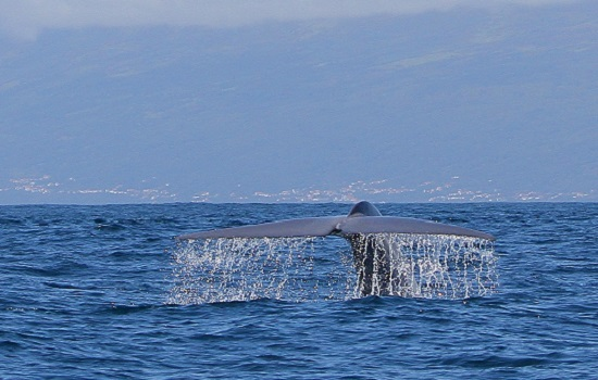 Blue Whale Tail Azores